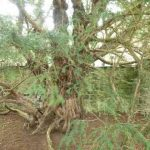 Oldest trees in the UK